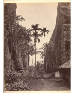 [Charles Scowen & Co (attributed to)]. [Palms].