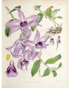 Hooker & Lyons, A Century of Orchidaceous Plants, first edition, 1849 - 1